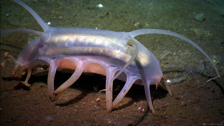 This is a Sea Pig. Turns out they're real.